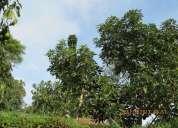 Lote cultivado aguacate y naranjo