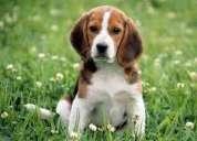 Necesito un cachoro beagle minimo 2 meses o 3 meses..en sincelejo/sucre colombia