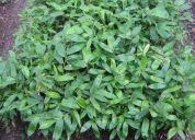 Plantulas y chusquines de guadua (bambusa angustifolia kunth), viveros, reforestacion- bio