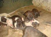 cachorros pitbull de 29 días de nacidos - el contry manzana g lote 3 - turbaco 3145731309