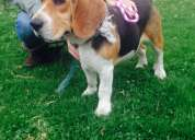 Perra beagle encontrada